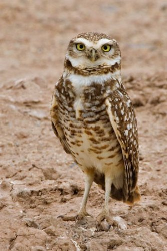 Burrowing Owl Facts