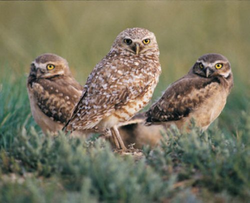 Burrowing Owl in Grassland