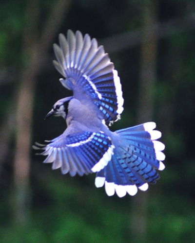 10 interesting blue jay facts my interesting facts. Black Bedroom Furniture Sets. Home Design Ideas
