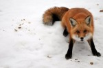 10 Interesting Fox Facts