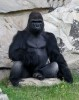 10 Interesting Gorilla Facts