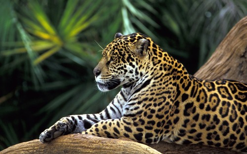 Jaguar in Amazon Rainforest
