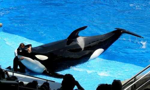 Killer Whale Attraction