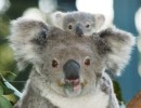 10 Interesting Koala Facts
