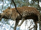 10 Interesting Leopard Facts
