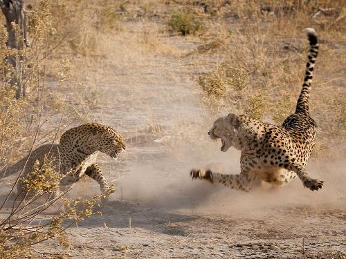 Leopard Fights
