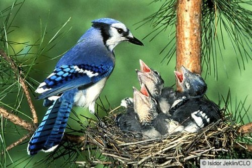 Nest of Blue Jay