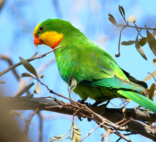 Parrot in Green