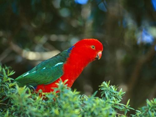 Parrot in Red
