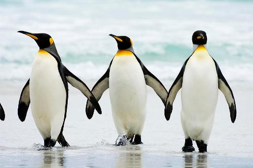 Penguin in Line