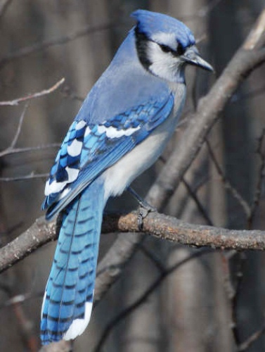 Pretty Blue Jay