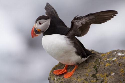 Puffin Facts