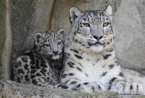Snow Leopard with Baby