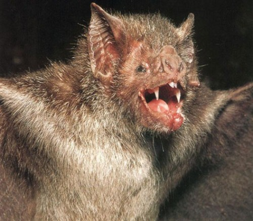 Vampire Bat Facts