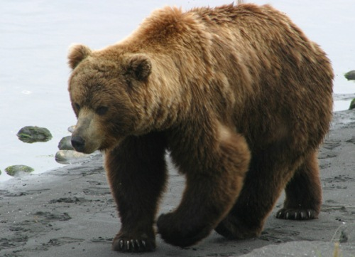 10 Interesting Bear Facts | My Interesting Facts - photo#5
