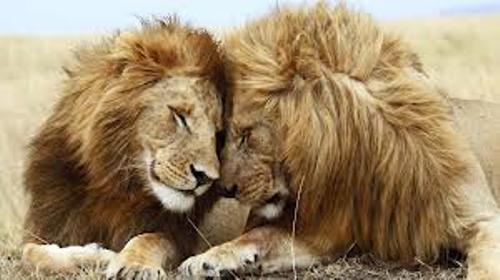 10 Interesting African Lion Facts - My Interesting Facts