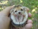 10 Interesting Hedgehog Facts