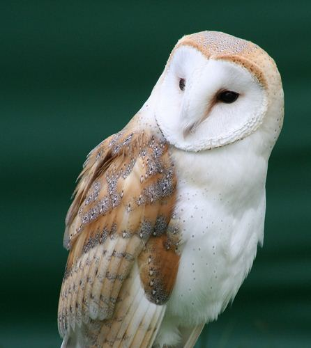Barn Owl Fact