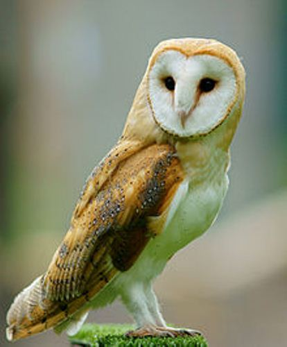 Barn Owl in Britain