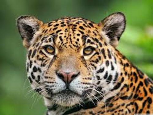 10 interesting jaguar facts my interesting facts