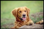 10 Interesting Golden Retriever Facts