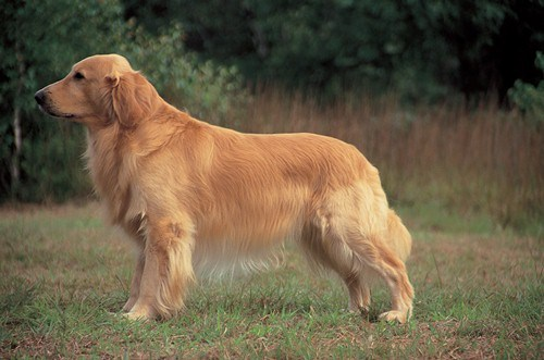 Golden Retriever in the Garden