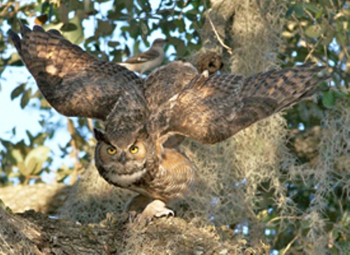 Great Horned Owl Facts