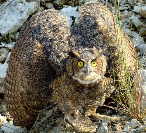 Great Horned Owl Species