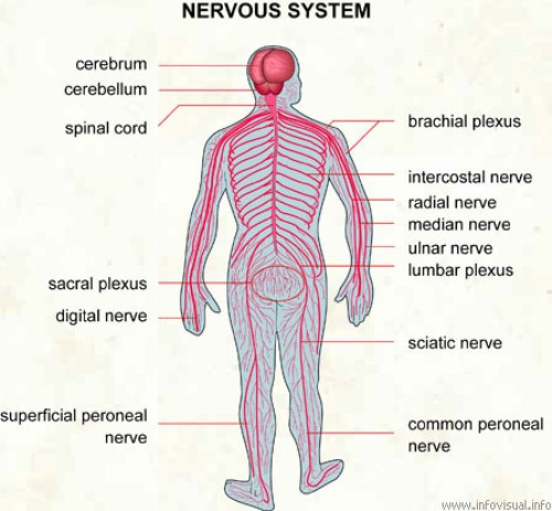 10 Interesting Nervous System Facts | My Interesting Facts