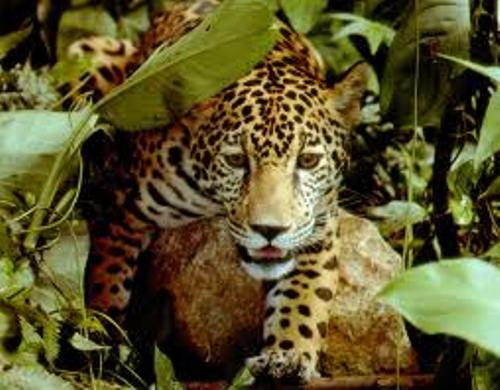 Jaguar Look