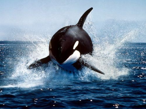 Orca Whale Facts