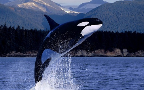 Powerful Orca Whale