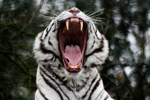 White Tiger Roars