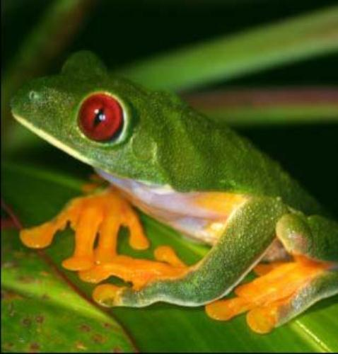 Red Eyed Tree Frog fact