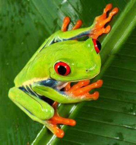 Red Eyed Tree Frog on a Leave