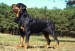 10 Interesting Rottweiler Dog Facts