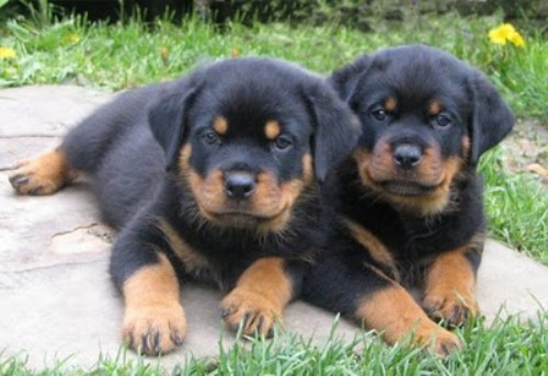 10 Interesting Rottweiler Dog Facts My Interesting Facts