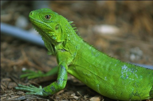 10 Interesting Iguana Facts | My Interesting Facts