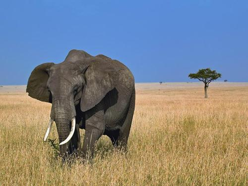 African Elephant Walks