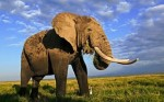 10 Interesting African Elephant Facts