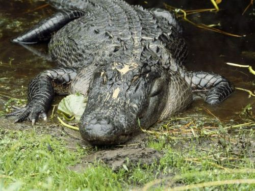 American Alligator in America