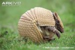 10 Interesting Armadillo Facts