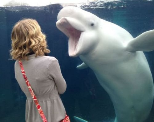 Beluga Whale Facts