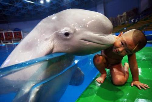 Beluga Whale Kissing
