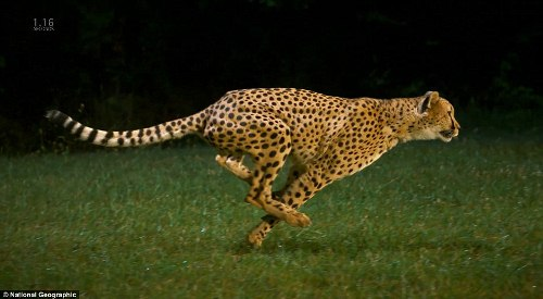 Cheetah Runs