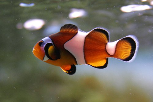 Clown fish cute