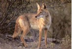 10 Interesting Coyote Facts