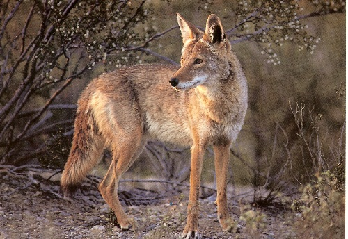 Coyote Facts