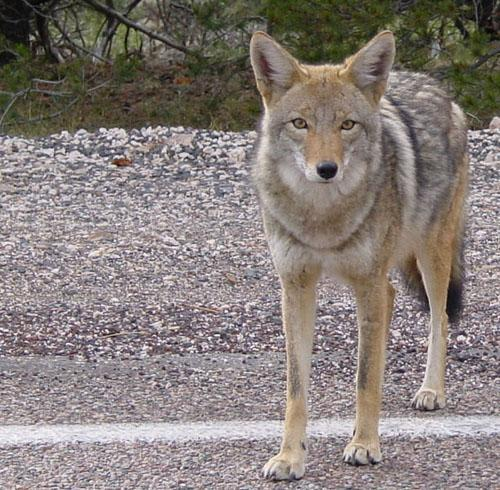 Coyote in Arizona