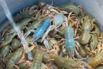 10 Interesting Crayfish Facts